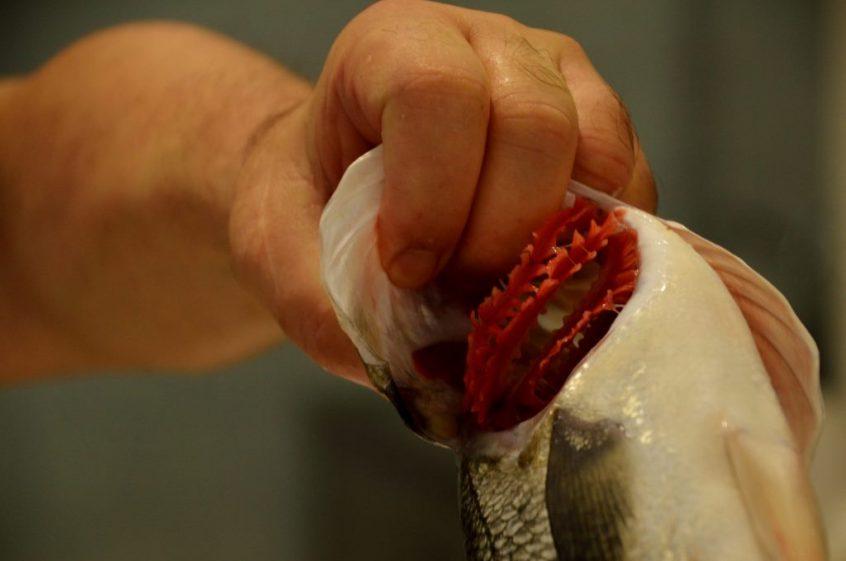 Best fish has rosy gills