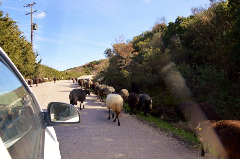 Goats in the road on Lesbos Greece